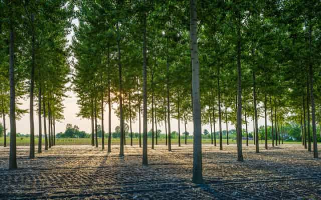 Topola energetyczna – sadzenie i uprawa na własne potrzeby, wydajność energetyczna, porady