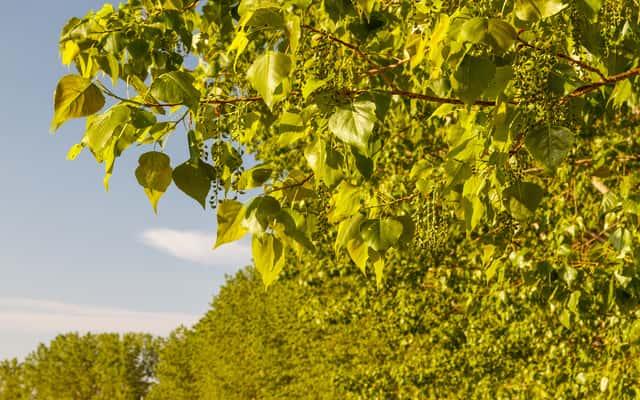 Topola kanadyjska (populus canadensis) - opis, występowanie, uprawa, pielęgnacja