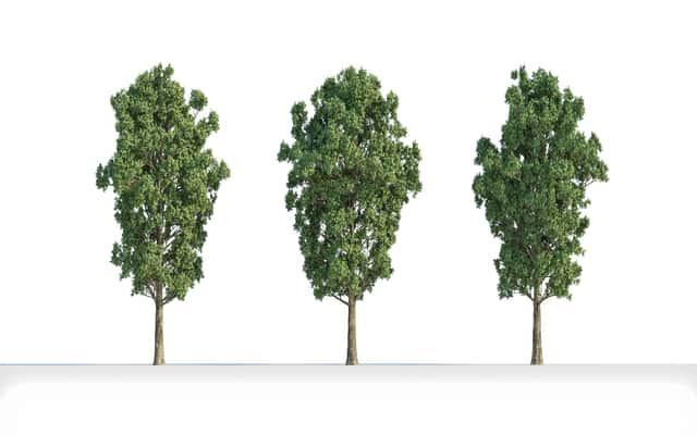 Topola szara (populus canescens) – opis, występowanie, uprawa, porady
