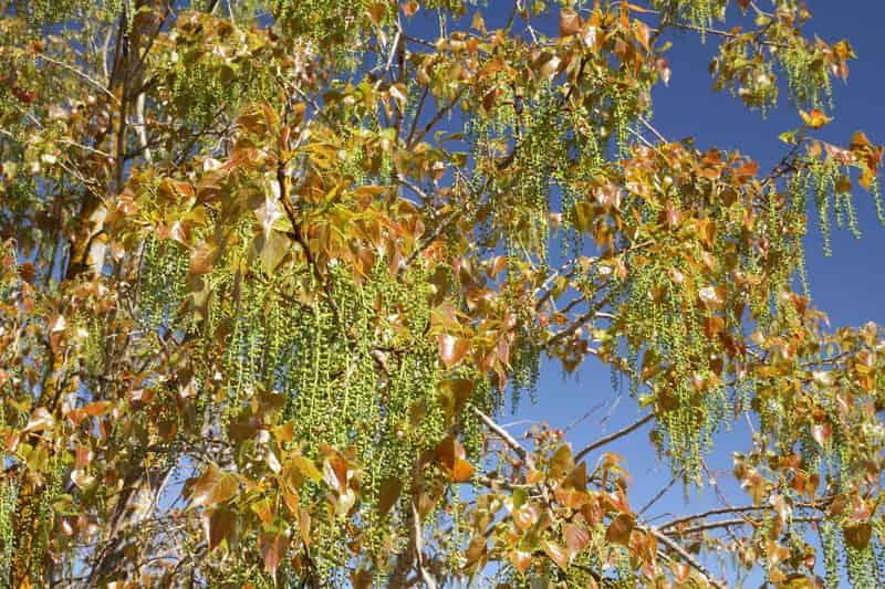 Topola kanadyjska, czyli populus canadensis na początku jesieni oraz porady, na czym polega jej uprawa w Polsce