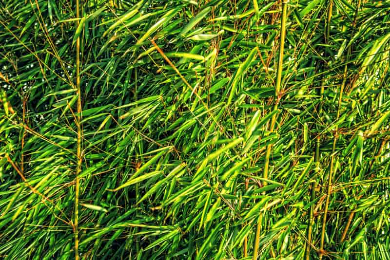 Trawa bambusowa - odmiany, wymagania, uprawa, pielęgnacja, porady