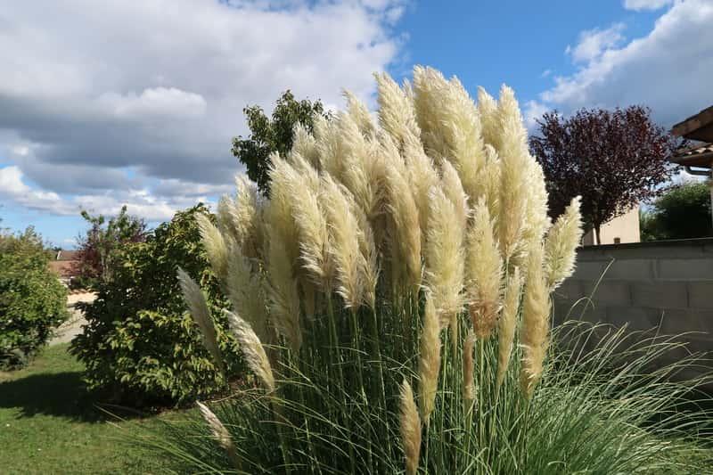 Trawa pampasowa w ogrodzie