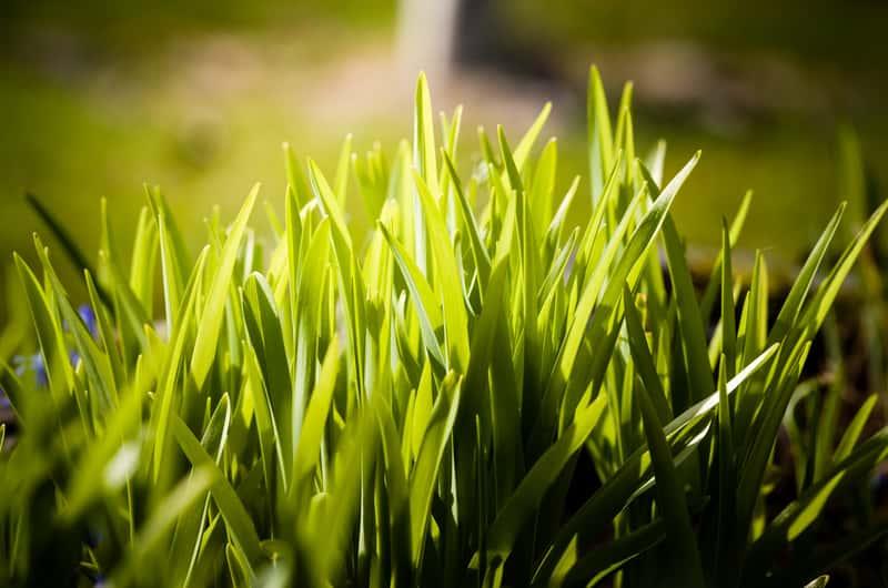 Trawa ozdobna w pełnym słońcu
