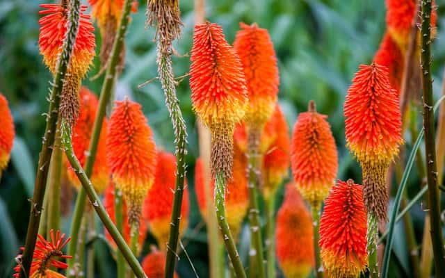 Trytoma groniasta - sadzenie, uprawa, pielęgnacja, cena