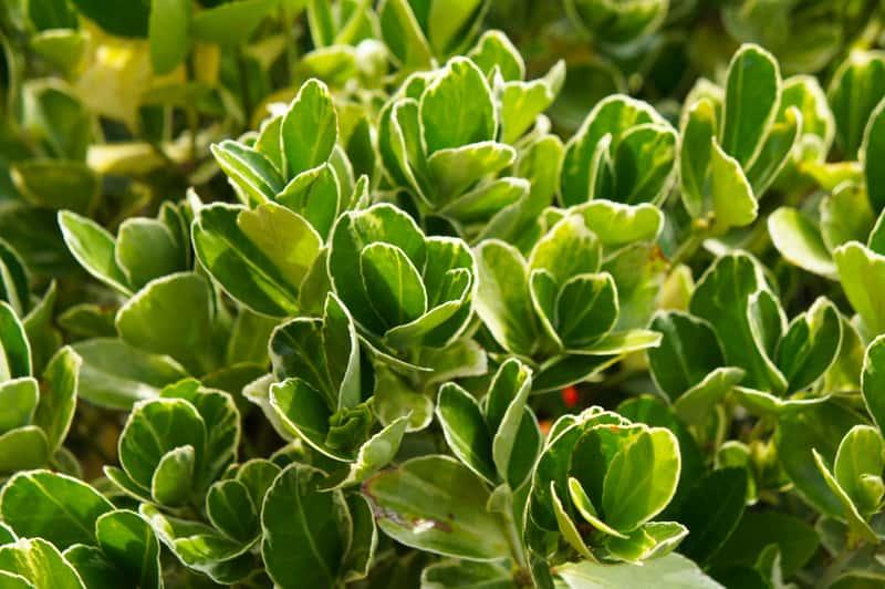 Trzmielina japońska, czyli z łaciny Euonymus japonicus, która jest zimozielonym krzewem