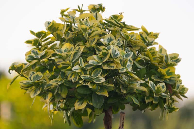 Trzmielina na pniu, a dokładniej szczepiona na pniu jako urocze drzewko do uprawy w ogrodzie