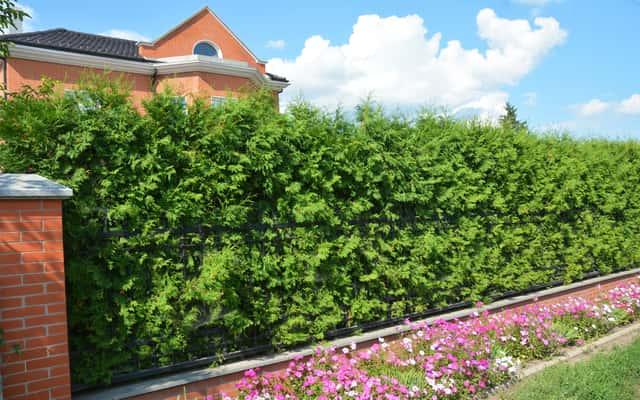 Tuja Brabant - sadzenie, uprawa, przycinanie, cena, opinie