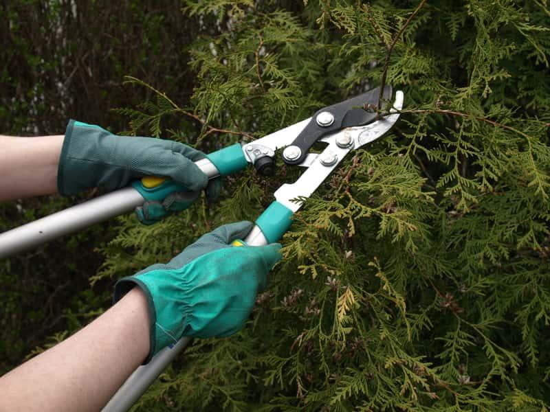 Jak sadzić tuje 'Szmaragd' na żywopłot - poradnik praktyczny
