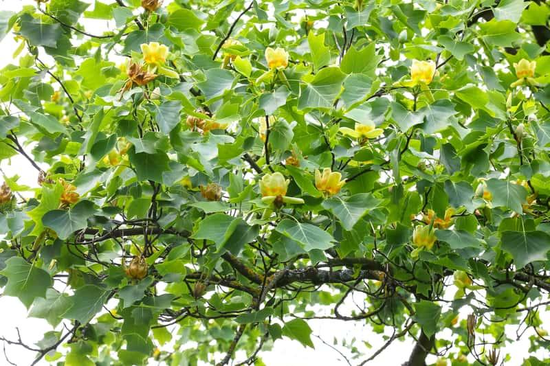 Szybko rosnące drzewa - przegląd najszybciej rosnących gatunków w Polsce
