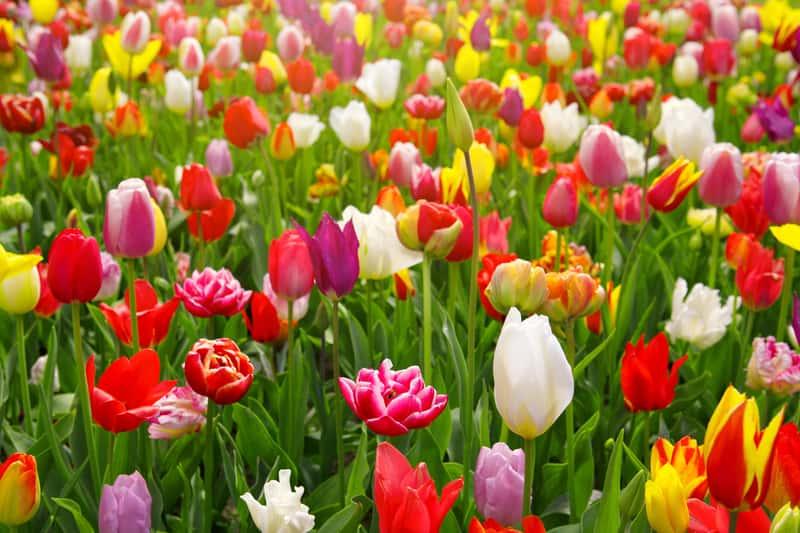 Tulipany kolorowe kwitnące w ogrodzie