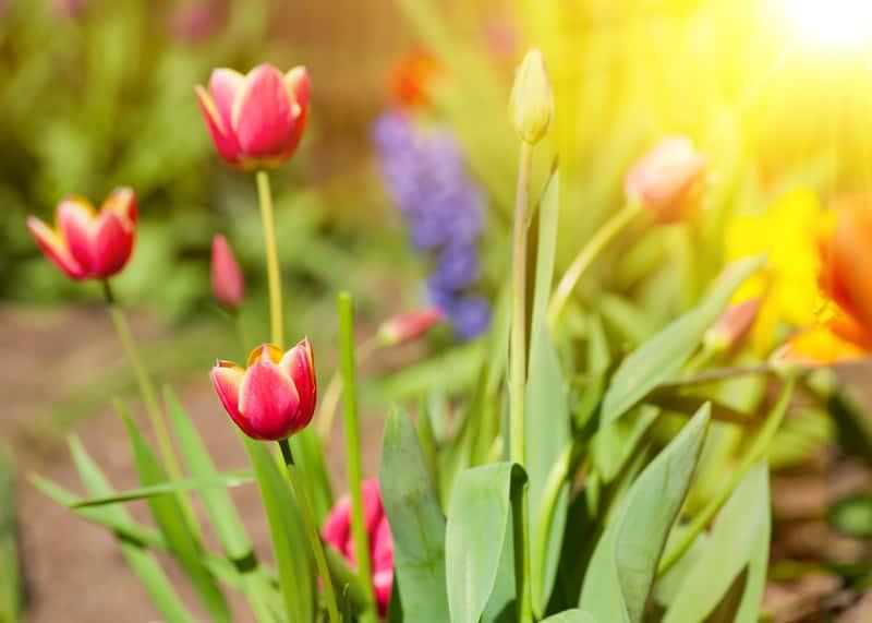 Pięknie kwitnące tulipany w ogrodzie