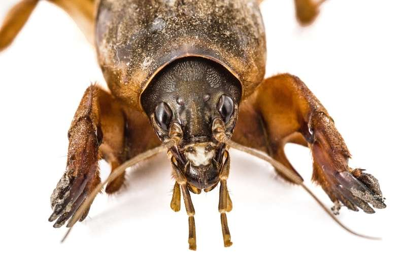 Zdjęcie turkucia podjadka w powiększeniu