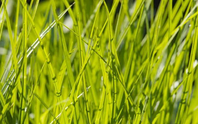 Turzyca muskegońska (Carex muskingumensis) – opis, uprawa w ogrodzie, porady
