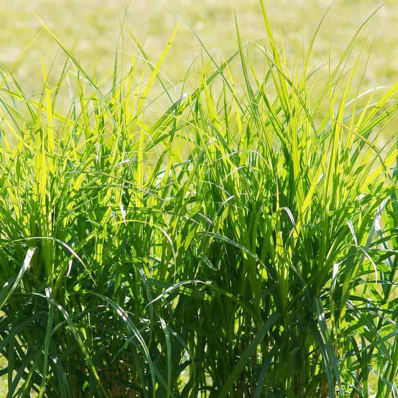 Turzyca palmowa (Carex muskingumensis) - odmiany, opis, uprawa, pielęgnacja, porady