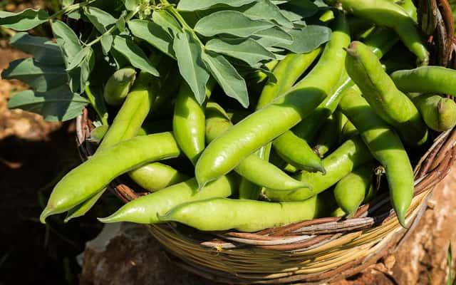Uprawa bobu w ogrodzie – odmiany, sadzenie, hodowla, nawożenie, porady praktyczne