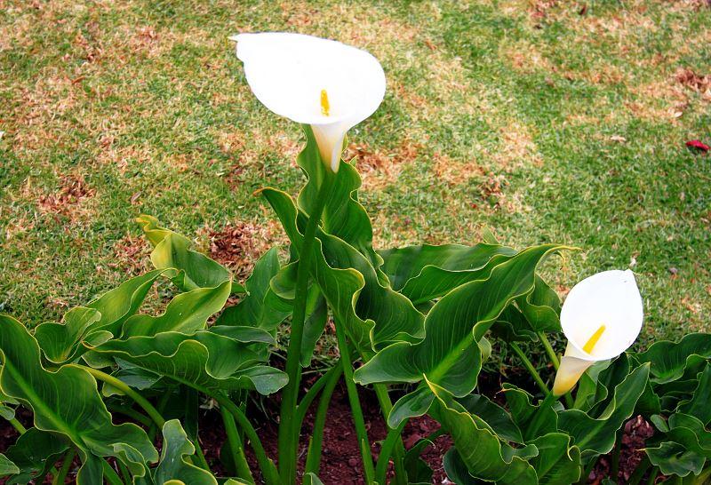 Kalia doniczkowa - kwiat, który ucieszy każdy dom - pielęgnacja, podlewanie, porady