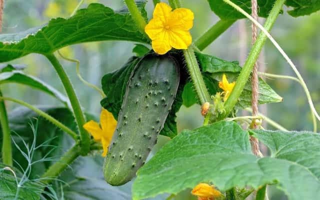 Uprawa ogórków - jak i kiedy sadzić ogórki? Objaśniamy krok po kroku