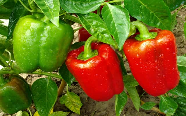 Uprawa papryki w gruncie – odmiany, sadzenie, hodowla, porady praktyczne