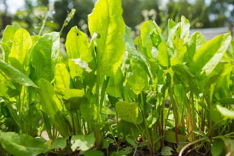 Uprawa szczawiu krok po kroku – odmiany, wysiew, pielęgnacja, choroby