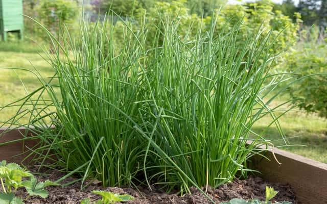 Uprawa szczypiorku krok po kroku – sadzenie, pielęgnacja, podlewanie, nawożenie