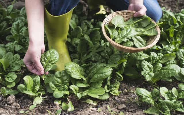 Uprawa szpinaku krok po kroku – odmiany, wysiew, pielęgnacja, zbiór