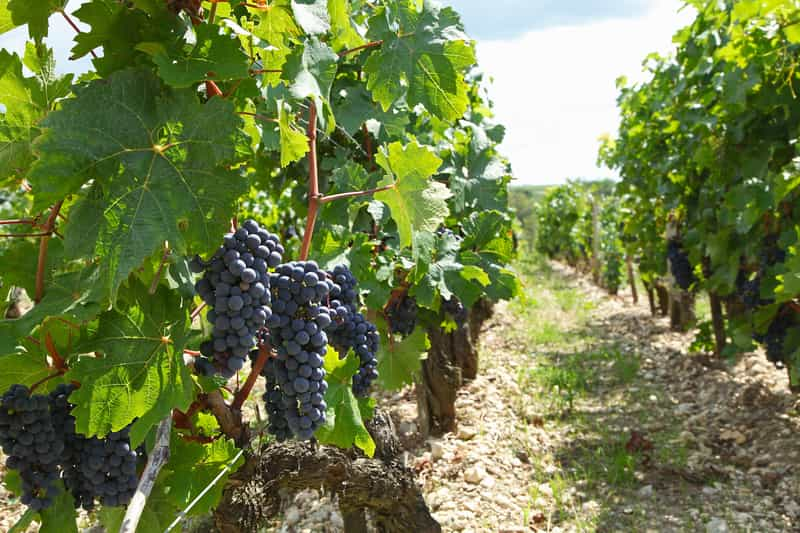 Winogrona w czasie dojrzewania
