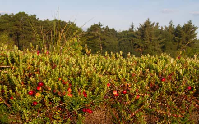 Uprawa żurawiny na działce i w ogrodzie - odmiany, sadzenie, pielęgnacja