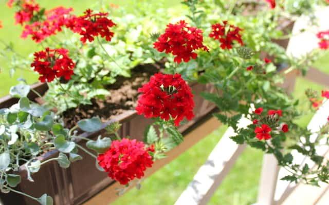 Werbena zwisająca - sadzenie, uprawa, pielęgnacja, wymagania