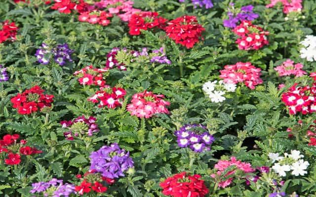 Werbena - popularne odmiany, sadzenie, pielęgnacja, wymagania