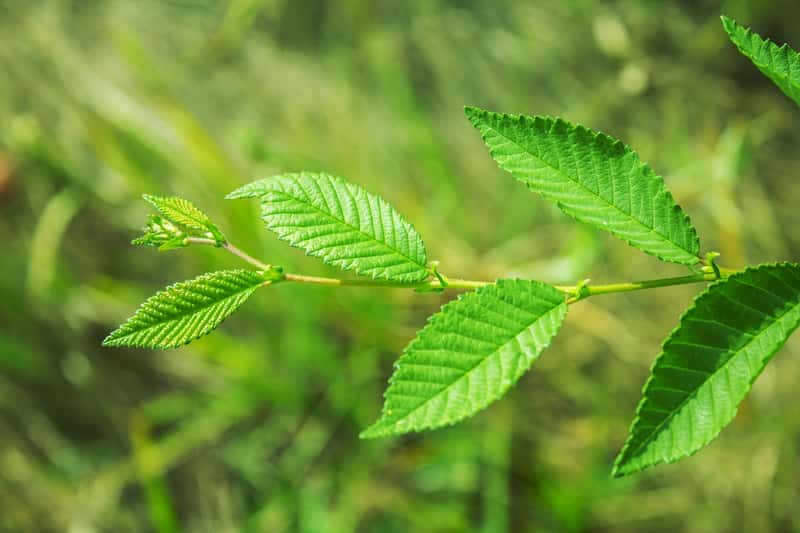 Zielone liście wiązu turkiestanu