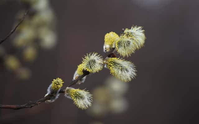 Wierzba iwa w ogrodzie - sadzenie, uprawa, pielęgnacja, przycinanie, choroby