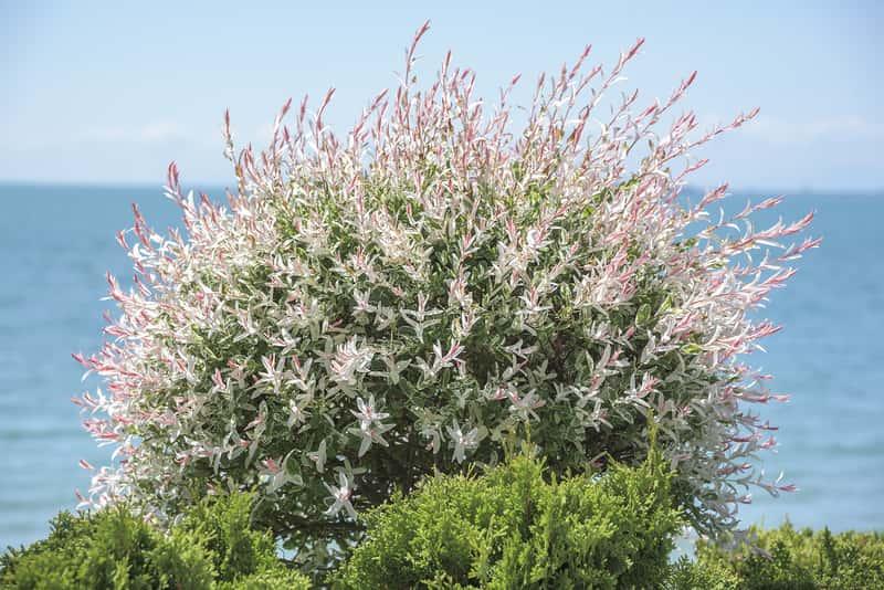 Wierzba japońska w okresie kwitnienia