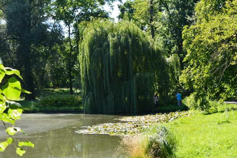 Wierzba w ogrodzie - odmiany, sadzenie, uprawa, pielęgnacja
