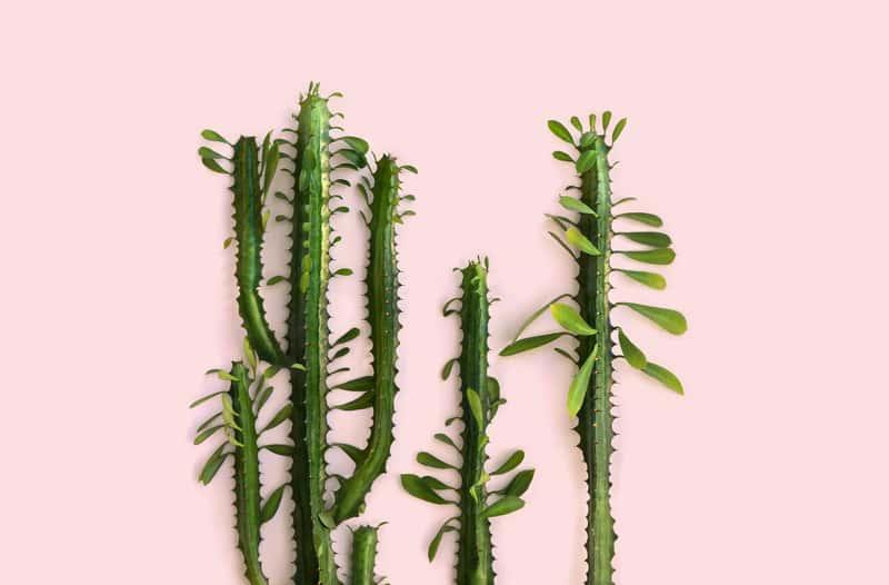 Wilczomlecz trójżebrowy - sadzenie, uprawa, rozmnażanie, przycinanie
