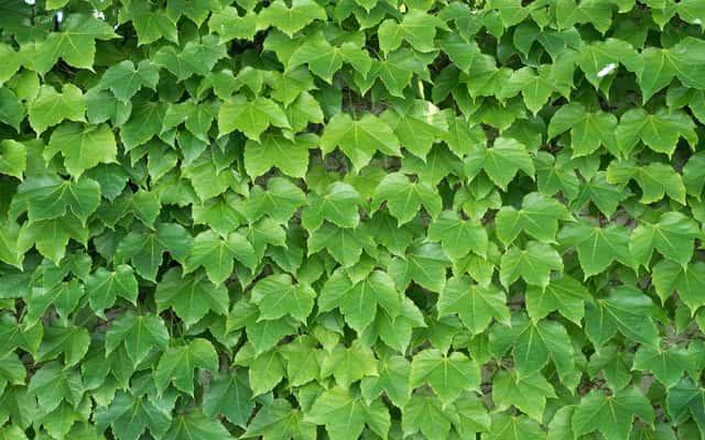 Winobluszcz trójklapowy – uprawa, odmiany, sadzenie