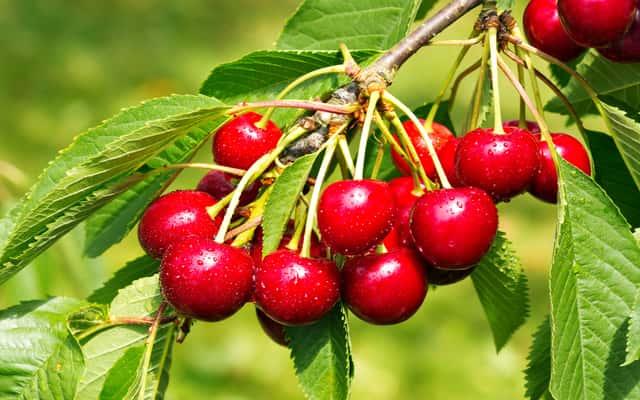 Wiśnia - odmiany, sadzenie, pielęgnacja i inne cenne porady