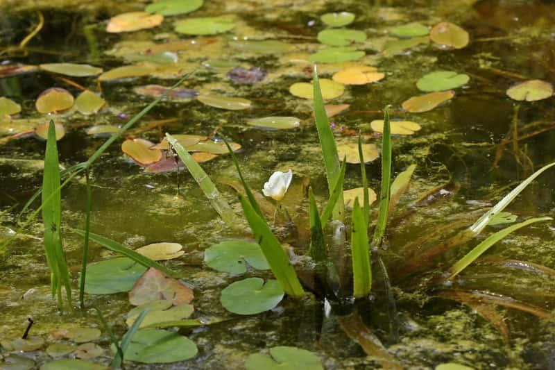 Strzałka wodna - opis, sadzenie, uprawa, pielęgnacja w oczku wodnym