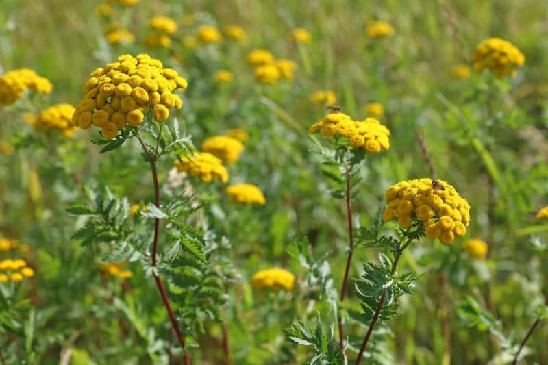 Wrotycz pospolity - wyjątkowe zioło - zastosowanie lecznicze, działanie, właściwości