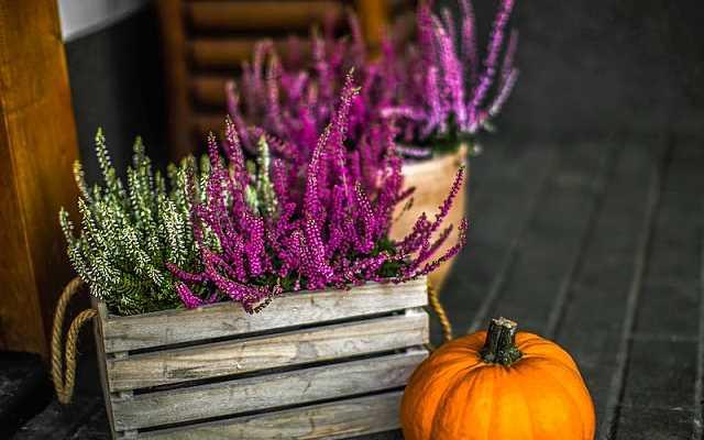 Wrzosy w domu i ogrodzie - kiedy sadzić, jak pielęgnować?