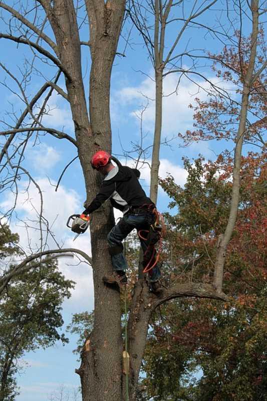 Praca arborysty na drzewie