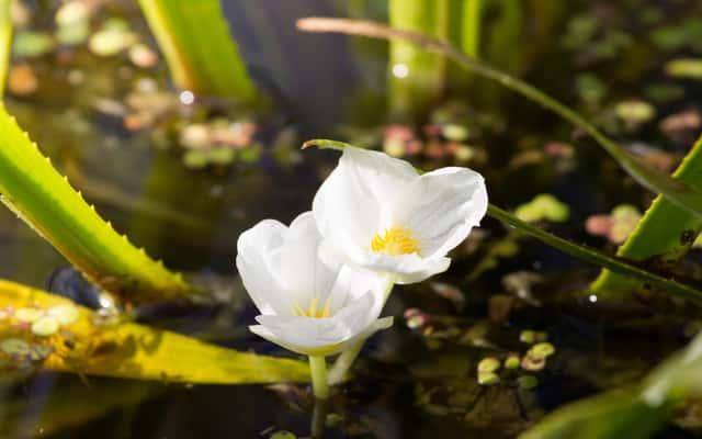 Żabiściek pływający - ozdobna roślina wodna - sadzenie, uprawa, pielęgnacja, porady