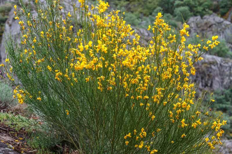 Żarnowiec miotlasty - dekoracyjny krzew - uprawa, pielęgnacja, popularne odmiany
