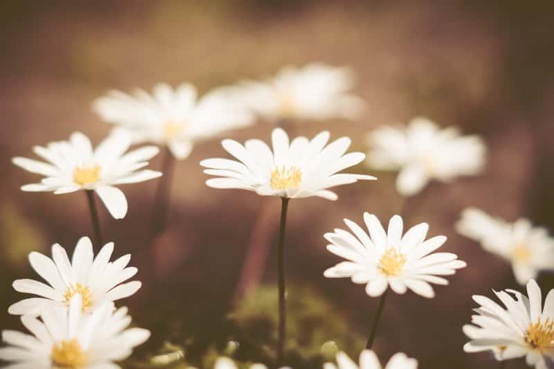 Zawilec grecki w czasie kwitnienia