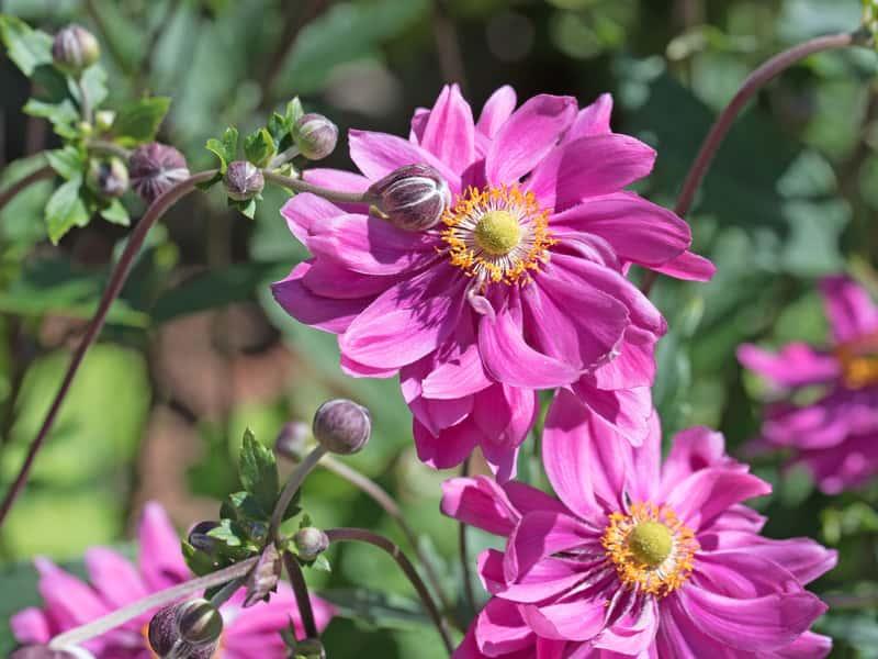 Zawilec ogrodowy w czasie kwitnienia