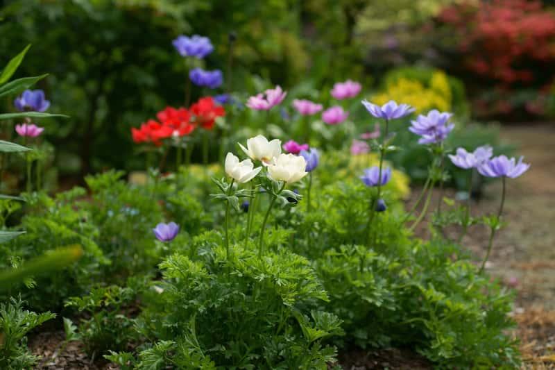 Zawilec wieńcowy w ogrodzie