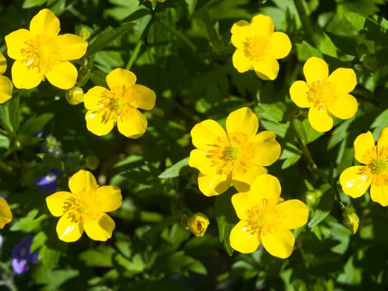 Zawilec żółty w ogrodzie