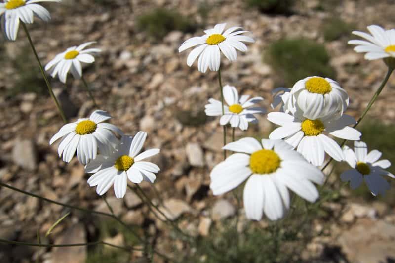 Złocień dalmatyński – opis, sadzenie, uprawa, pielęgnacja, porady