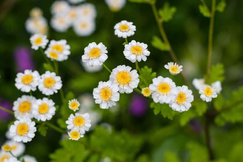Złocień w ogrodzie w czasie kwitnienia