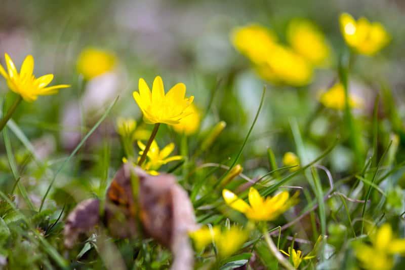 Żółty jaskier jadowity na terenach silnie zaszlamionych i podmokłych jako roślina trująca