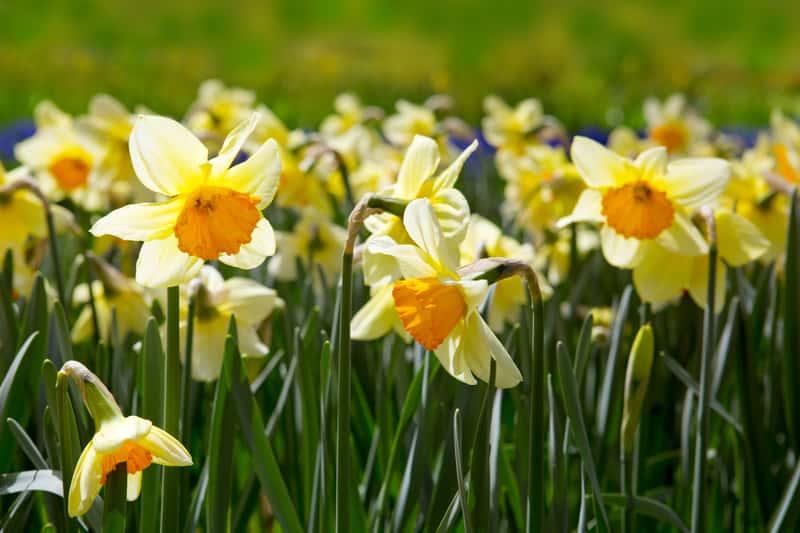 Piękne żółte żonkile w czasie kwitnienia